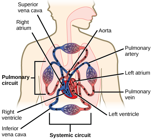 Illustration shows blood circulation through the mammalian systemic and pulmonary circuits. Blood enters the left atrium, the upper left chamber of the heart, through veins of the systemic circuit. The major vein that feeds the heart from the upper body is the superior vena cava, and the major vein that feeds the heart from the lower body is the inferior vena cava. From the left atrium blood travels down to the left ventricle, then up to the pulmonary artery. From the pulmonary artery blood enters capilla