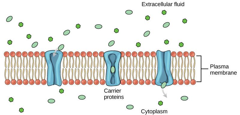 This illustration shows a carrier protein embedded in the membrane with an opening that initially faces the extracellular surface. After a substance binds the carrier, it changes shape so that the opening faces the cytoplasm, and the substance is released.