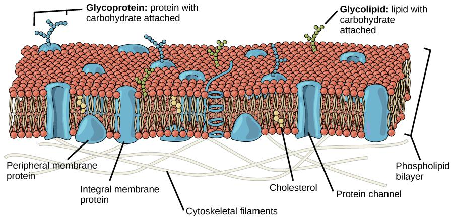 This illustration shows a phospholipid bilayer with proteins and cholesterol embedded in it. Integral membrane proteins span the entire membrane. Protein channels are integral membrane proteins with a central pore through which molecules can pass. Peripheral proteins are associated with the phospholipid head groups on one side of the membrane only. A glycoprotein is shown with the protein portion of the molecule embedded in the membrane and the carbohydrate portion jutting out from the membrane. A glycoli