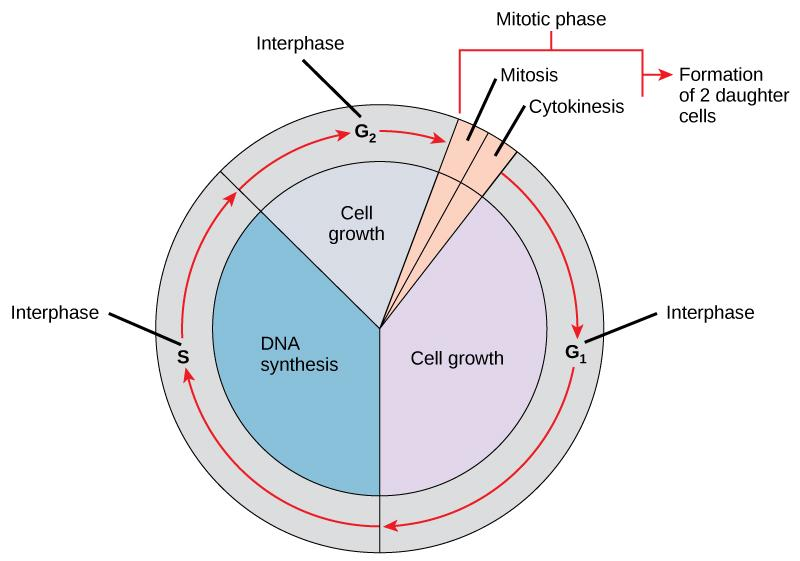 Like a clock, the cell cycles from interphase to the mitotic phase and back to interphase. Most of the cell cycle is spent in interphase, which is subdivided into G_{1}, S, and G_{2} phases. Cell growth occurs during G_{1}, DNA synthesis occurs during S, and more growth occurs during G_{2}. The mitotic phase consists of mitosis, in which the nuclear chromatin is divided, and cytokinesis, in which the cytoplasm is divided, resulting in two daughter cells.
