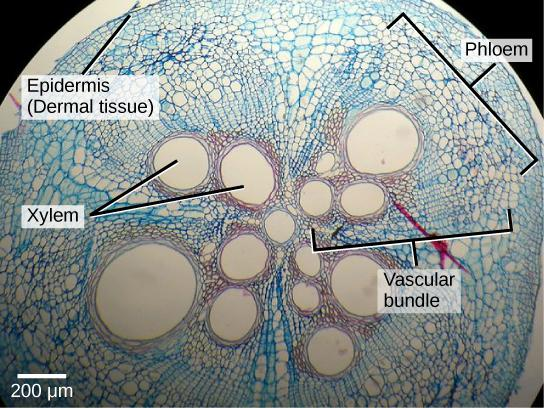 Micrograph shows a round plant stem cross section. There are four teardrop-shaped vascular bundles, with the narrow point of the teardrop meeting at a round xylem vessel. Within each teardrop near the center are two to four more xylem vessels. To the outside of the xylem vessels are much smaller phloem cells. The four vascular bundles are encased in ground tissue. Cells of the ground tissue are somewhat larger than phloem. The stem is protected by an outer layer of dermal tissue, made up of several layers