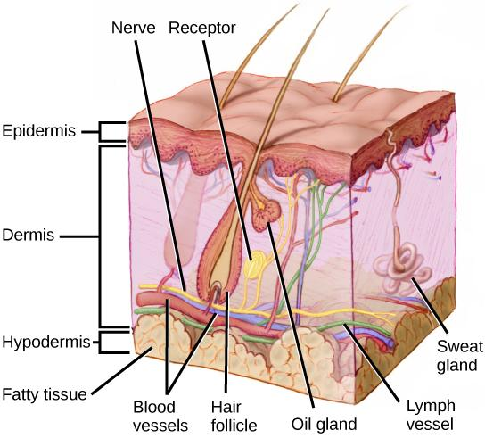 Illustration shows a cross section of mammalian skin. The outer epidermis is a thin layer, smooth on the outside, bumpy on the inside. The middle dermis is much thicker than the dermis. Blood, nerve and lymph vessels run along the bottom of it, and smaller capillaries and nerve endings extend to the upper part. One nerve ends in a receptor. Sweat glands extend from the dermis into the epidermis. Hair follicles extend from the base of the dermis to the upper part where they are joined by oil glands. Hairs