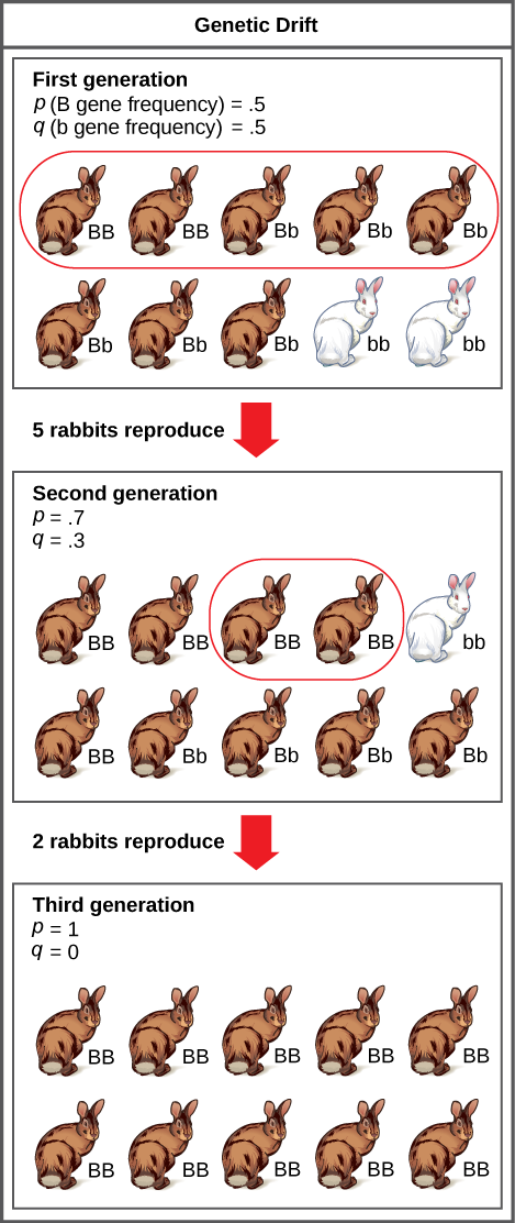 A population has 10 rabbits. 2 of these rabbits are homozygous dominant for the B allele and have brown coat color. 6 are heterozygous and also have brown coat color. Two are homozygous recessive and have white coat color. The frequency of the capital B allele, p, is .5 and the frequency of the small b allele, q, is also .5.Only 5 of the rabbits, including 2 homozygous dominant and 3 heterozygous individuals, produce offspring. 5 of the resulting offspring are homozygous dominant, 4 are heterozygous, and