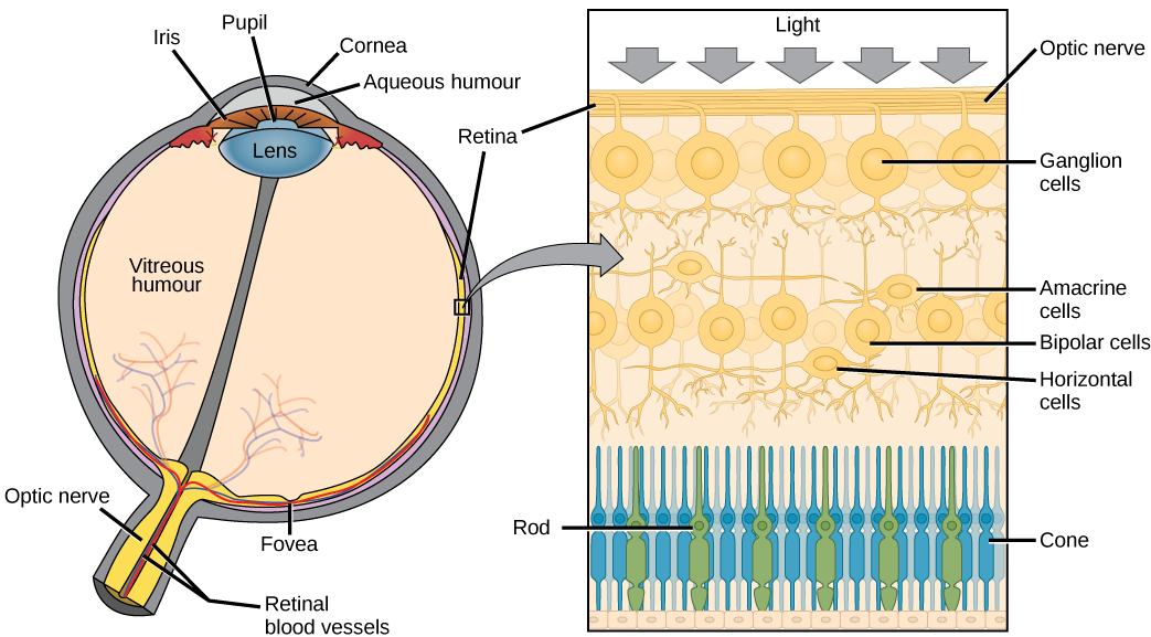 The left illustration shows a human eye, which is round and filled with vitreous humour. The optic nerve and retinal blood vessels exit the back of the eye. At the front of the eye is the lens with a pupil in the middle. The lens is covered by the iris, which in turn is covered by the cornea. The aqueous humour is a gel-like substance between the cornea and iris. The retina is the lining of the inner eye. A second illustration is a blowup which shows that the optic nerve is at the surface of the retina. B