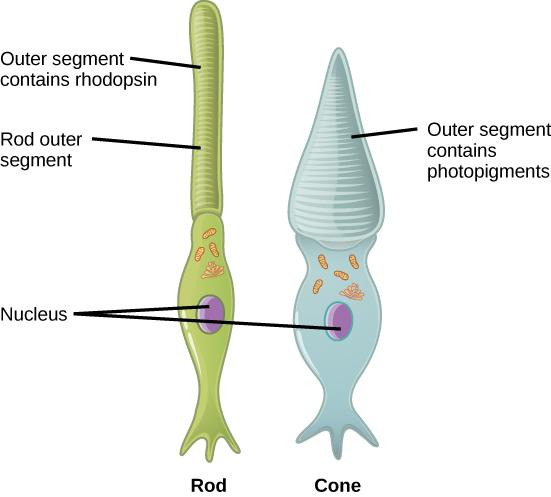 This illustration shows that rods and cones are both long, column-like cells with the nucleus located in the bottom portion. The rod is longer than the cone. The outer segment of the rod contains rhodopsin. The outer segment of the rod contains other photo-pigments. An oil droplet is located beneath the outer segment.