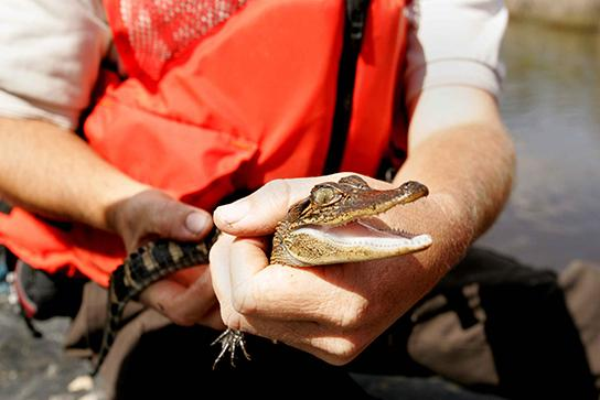 This photo shows a person holding a baby alligator.