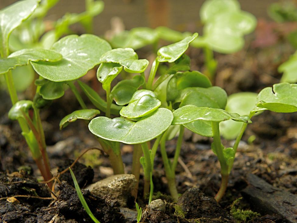The image shows radish plants of various heights sprouting out of dirt.