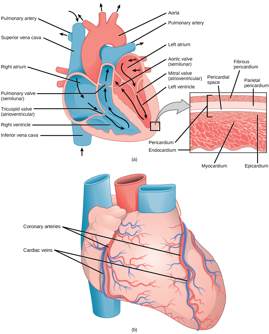 Illustration A shows the parts of the heart. Blood enters the right atrium through an upper, superior vena cava and a lower, inferior vena cava. From the right atrium, blood flows through the funnel-shaped tricuspid valve into the right ventricle. Blood then travels up and through the pulmonary valve into the pulmonary artery. Blood re-enters the heart through the pulmonary veins, and travels down from the left atrium, through the mitral valve, into the right ventricle. Blood then travels up through the a