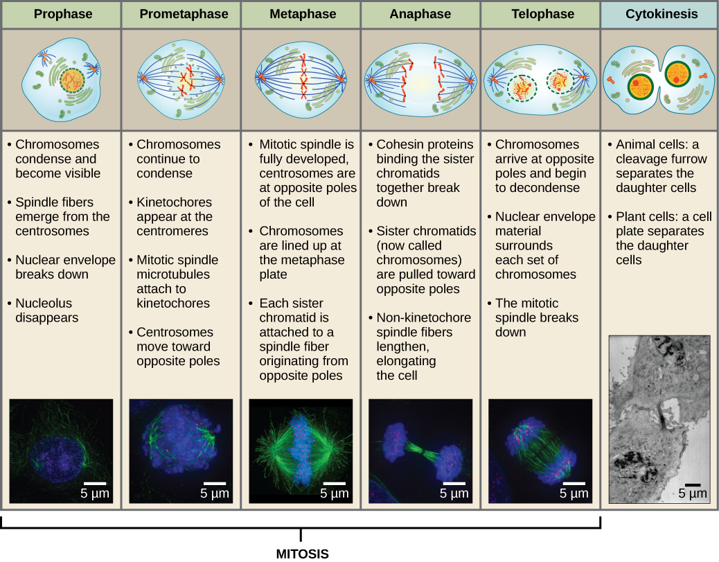 This diagram shows the five phases of mitosis and cytokinesis. During prophase, the chromosomes condense and become visible, spindle fibers emerge from the centrosomes, the nuclear envelope breaks down, and the nucleolus disappears. During prometaphase, the chromosomes continue to condense and kinetochores appear at the centromeres. Mitotic spindle microtubules attach to the kinetochores, and centrosomes move toward opposite poles. During metaphase, the mitotic spindle is fully developed, and centrosomes