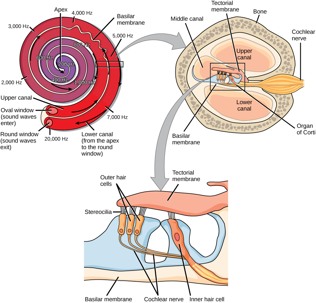 A series of three illustrations are shown. The top illustration shows a cochlea, which is shaped like a snail shell with two parallel chambers, the upper chamber and the lower chamber, coiling from the outside in. These chambers are separated by a flexible membrane basilar membrane. The oval window covers the inner of these parallel chambers. Sound waves enter here, and travel to the middle, or apex, of the coil. The membrane separating the two chambers gets thinner from the outside in, such that is vibra