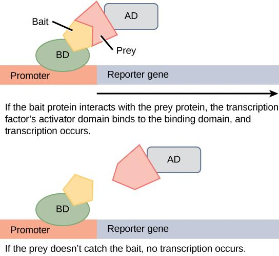 In two-hybrid screening, the binding domain of a transcription factor is separated from the activator domain. A bait protein is attached to the DNA-binding domain of a transcription factor, and a prey protein is attached to the activator domain. If the prey catches the bait (in other words, binds to it), transcription of a reporter gene occurs. If the prey does not catch the bait, no transcription occurs. Scientists use this transcriptional activation to determine if interaction between the bait and prey