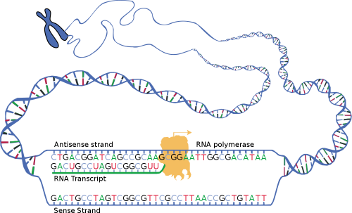 R4sci10004px-DNA_transcription_0