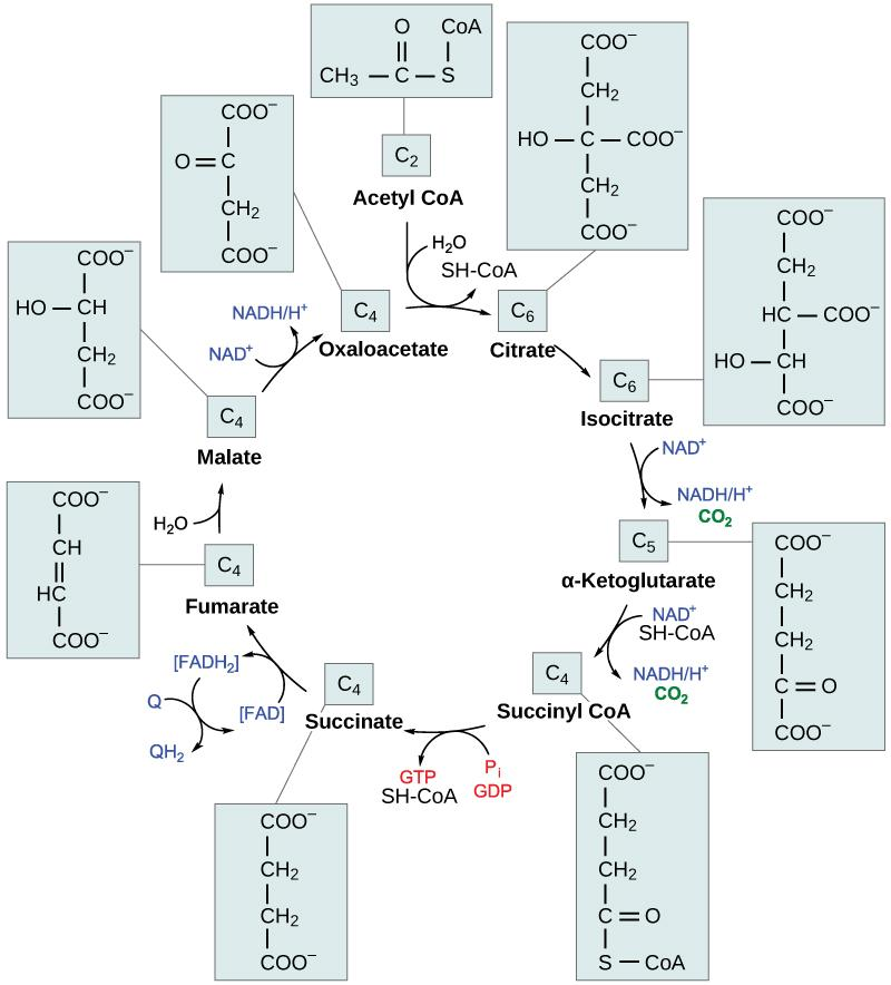 This illustration shows the eight steps of the citric acid cycle. In the first step, the acetyl group from acetyl CoA is transferred to a four-carbon oxaloacetate molecule to form a six-carbon citrate molecule. In the second step, citrate is rearranged to form isocitrate. In the third step, isocitrate is oxidized to α-ketoglutarate. In the process, one NADH is formed from NAD^{+} and one carbon dioxide is released. In the fourth step, α-ketoglutarate is oxidized and CoA is added, forming succinyl CoA. I
