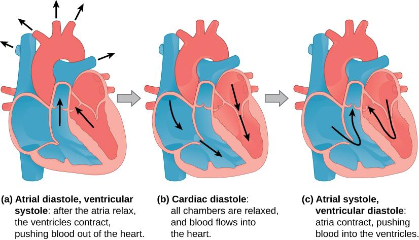 Illustration A shows atrial diastole, ventricular systole; after the atria relax, the ventricles contract, pushing blood out of the heart. Arrows extend from the right and left ventricles through the valves and from the arteries toward the (not depicted) body. Illustration B shows cardiac diastole. The cardiac muscle is relaxed, and blood flows into the heart atria and into the ventricles. Arrows are shown in the atria pointing toward the ventricle and in the ventricle pointing toward the apex of the hear