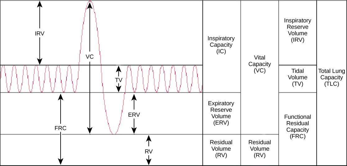 The chart shows the exchange of air during inhalation and exhalation, which resembles a wave pattern. During normal breathing, only about eight percent of air in the lungs is exchanged, and the amount of air in the lungs is one-half the total lung capacity. When a person breathes in deeply, total lung capacity is attained. The amount of air taken in is called the inspiratory capacity. Forceful exhalation results in expulsion of the expiratory reserve volume. A residual volume of air of about eight percent