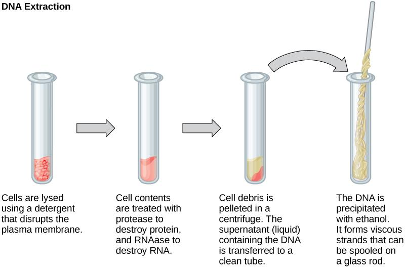 This illustration shows the four main steps of DNA extraction. In the first step, cells in a test tube are lysed using a detergent that disrupts the plasma membrane. In the second step, cell contents are treated with protease to destroy protein, and RNAase to destroy RNA. The resulting slurry is centrifuged to pellet the cell debris. The supernatant, or liquid, containing the DNA is then transferred to a clean test tube. The DNA is precipitated with ethanol. It forms viscous, mucous-like strands that can