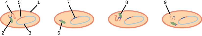 This image shows 4 light peach colored ovals. Inside of the first oval is a small green blob labeled 2, a orange squiggle labeled 4, a blue semi circle labeled 3, and finally closing the blue semi circle is an orange line labeled 5. The outside is outlined in orange and is labeled 1. The second oval has a green blob that is labeled 6 and a dark blue line in the orange part of the blue circle that is labeled 7. The third oval shows the green blob labeled 8. The final peach oval shows a peach squiggle with