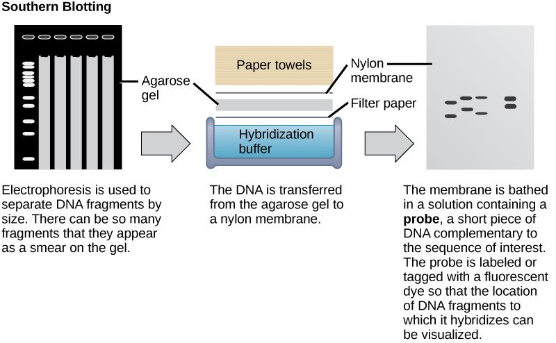 In Southern blotting, DNA is separated on the basis of size by agarose gel electrophoresis. The fragments run through the gel from top to bottom. In the gel shown in this figure, there are so many DNA fragments they appear as a smear in each lane.  The DNA from the gel is transferred to a nylon membrane. To do so, the gel is sandwiched between filter paper and the membrane and placed in hybridization buffer. Paper towels above the gel wick up the moisture and assist in the transfer. The nylon membrane is