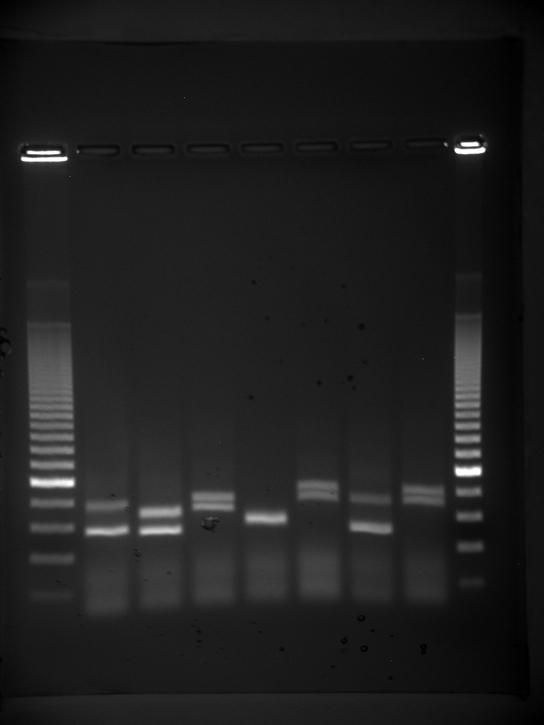Photo shows an agarose gel illuminated under UV light. The gel contains nine lanes from left to right. Each lane was loaded with a sample containing DNA fragments of differing size that separated as they travelled through the gel from top to bottom. The DNA appears as thin, white bands on a black background. Lanes one and nine contain many bands from a DNA standard. These bands are closely spaced toward the top, and spaced farther apart further down the gel. Lanes two through eight contain one or two band