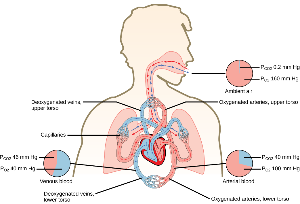 The illustration shows the movement of deoxygenated air into the lungs, and oxygenated air out of the lungs. Also shown is the circulation of blood through the body. Circulation begins when deoxygenated blood in arteries leaves the right side of the heart and enters the lungs. Oxygenated blood exits the lungs, and enters the left side of the heart, which pumps it to the rest of the body via arteries. The partial pressure of oxygen in the atmosphere is 160 millimeters of mercury, and the partial pressure o