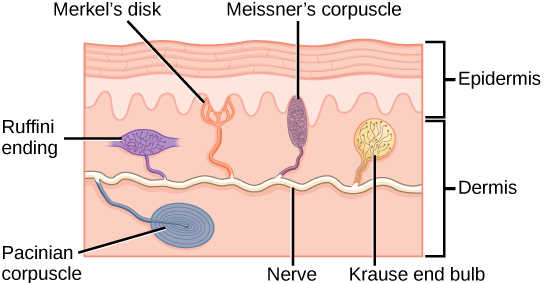 Illustration shows the location of various mechanoreceptors in a cross section of the epidermis and dermis. A nerve runs along the middle of the dermis, and all the mechanoreceptors are connected to it. Ruffini endings, Merkel's disks, and Meissner's corpuscles are all located in the upper dermis above the nerve. Ruffini endings are bulbous, horizontal mechanoreceptors located in the middle of the upper dermis. Meissner's corpuscles are bulbous, vertical mechanoreceptors that touch the bottom of the