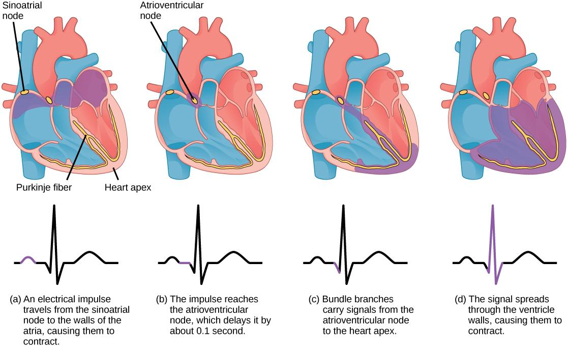 The sinoatrial node is located at the top of the right atrium, and the atrioventricular node is located between the right atrium and right ventricle. The heart beat begins with an electrical impulse at the sinoatrial node, which spreads throughout the walls of the atria, resulting in a bump in the ECG reading. The signal then coalesces at the atrioventricular node, causing the ECG reading to flat-line briefly. Next, the signal passes from the atrioventricular node to the Purkinje fibers, which travel from