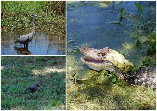 Alligator, heron, squirrel