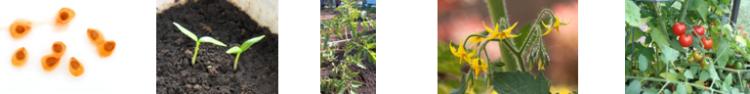TomatoPlantLifeCycle