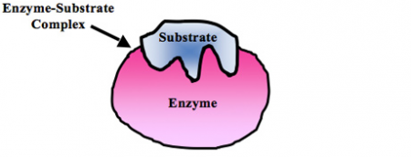 Enzyme%20substrate%201