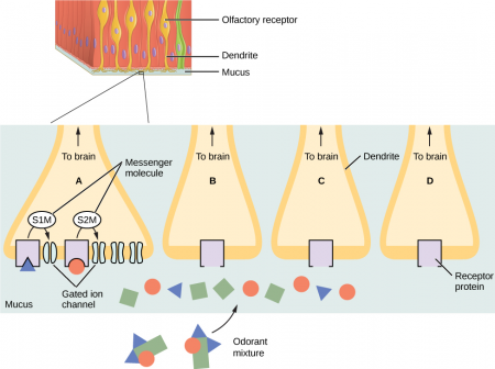 The image shows the tissue lining the nasal cavity. Olfactory receptor cells are embedded in the tissue. Each olfactory cell has a dendrite extending from the body of the cell into the mucous lining the nasal cavity. Several terminal branches at the end of one dendrite are blown up. Olfactory receptor molecules are embedded in the cell membrane, where they extend into the mucous. A mixture of odorant molecules is present in the mucous, each represented by a different shape. Each olfactory receptor protein