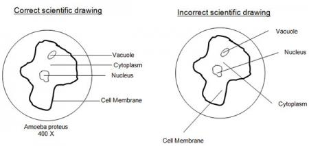 Image of a correct and incorrect scientific drawing