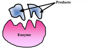 Enzyme%20substrate%202