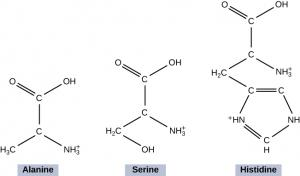 The figure shows the chemical structures for the amino acids alanine, serine, and histidine. The alanine and serine molecules are shown forming a peptide bond to become Histidine. Alanine is made up of two C atoms arranged in a straight line. The top C atom is connected to two O atoms on the left side and an O H atom on the right side. The bottom C atom is connected on the bottom right side with H 3 C atom on the left side and an N H 3 atom on the right side. When this Alanine molecule is joined by the Se