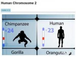 silhouettes of a chimpanzee and human with chromosomes